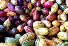 Chocolaterie Robert, fèves de cacao