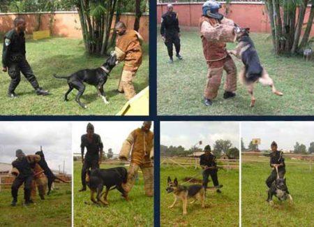Dressage des chiens de garde chez SSSM