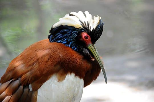 Ibis huppé, parc Tsimbazaza