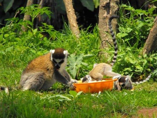 Instituts nationaux et internationaux soutiennent la préservation des espèces au Parc Tsimbazaza