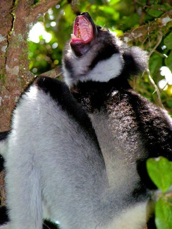 Madagascar National Parks, Indri Indri