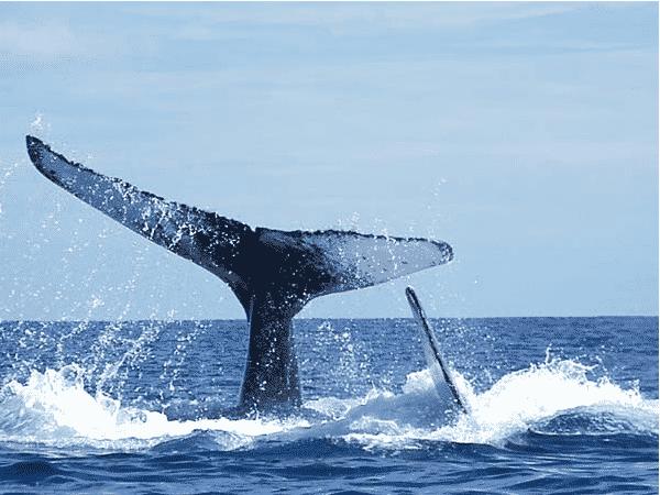 Vingila baleine