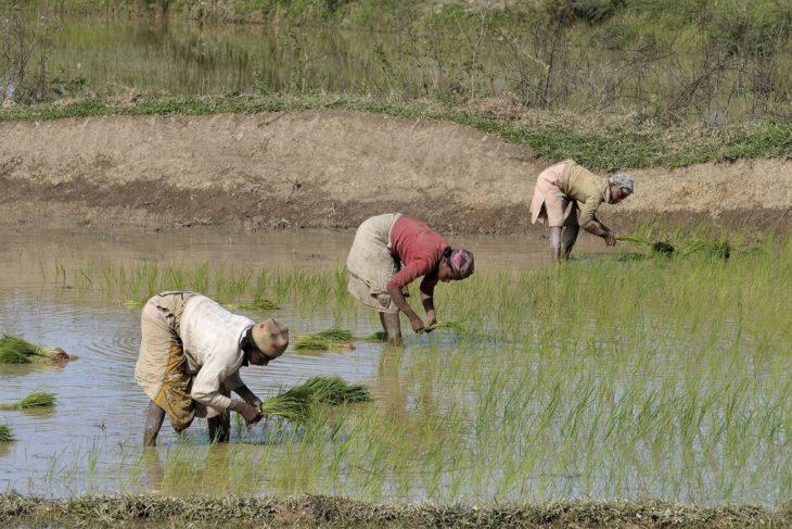 AVSF, soutien à la culture de riz