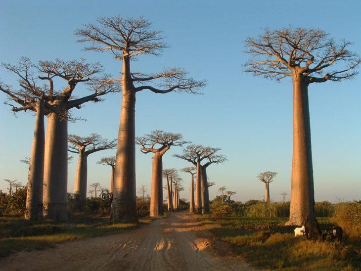 Madagascar Touring baobabs à Morondava
